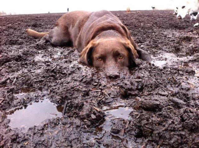 Лабрадоры, которые любят купаться в грязи Животные