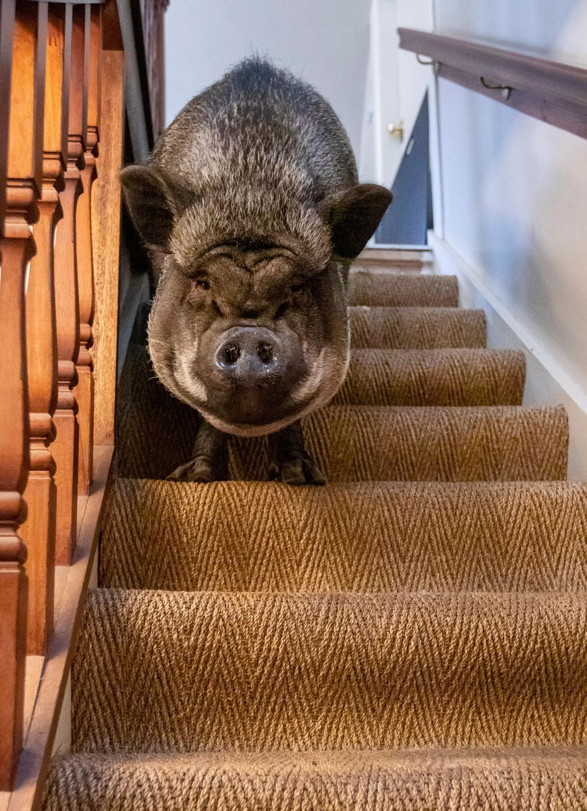 130-килограммовая свинья живет в доме, так как на улице слишком холодно