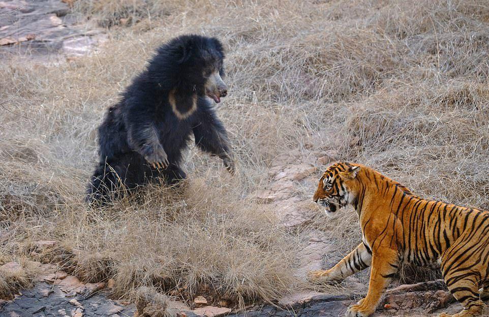 Медведица с медвежатами прогнала спаривающихся тигров