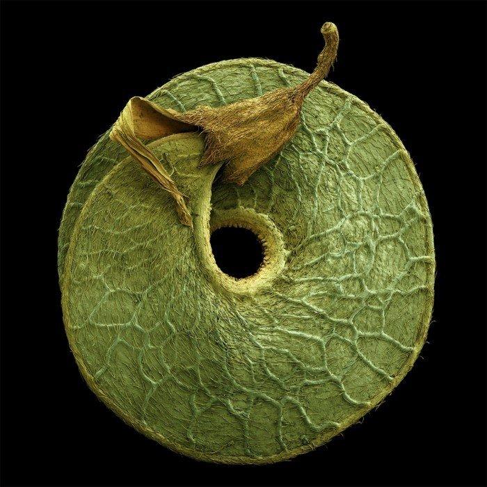 Невероятные снимки разных семян под микроскопом