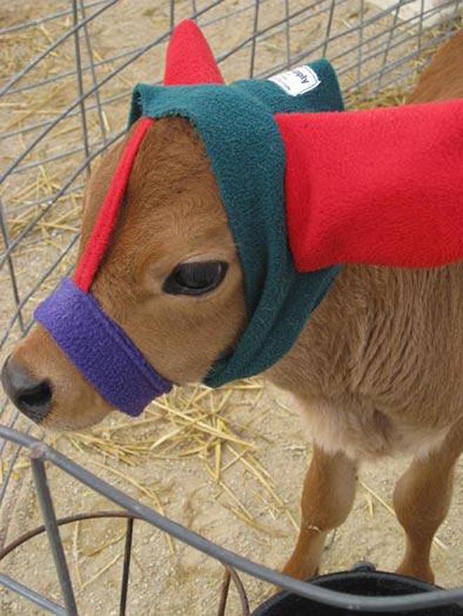 Наушники, которыми фермеры защищают коров от обморожения
