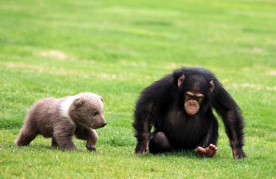 Дружба медвежонка и шимпанзе в турецком зоопарке