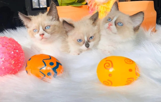 Кошки и котики, которым самое место на подиуме