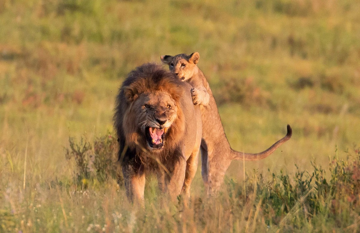 Львенок цапнул взрослого льва за зад