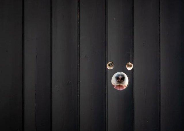 Британец просверлил дырки для собак в заборе и создал городскую достопримечательность