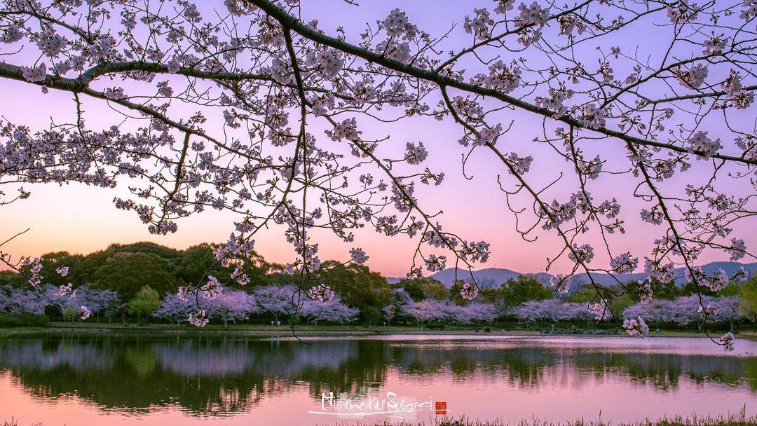 Красивые снимки с цветущей сакурой в Японии от Хидэнобу Судзуки