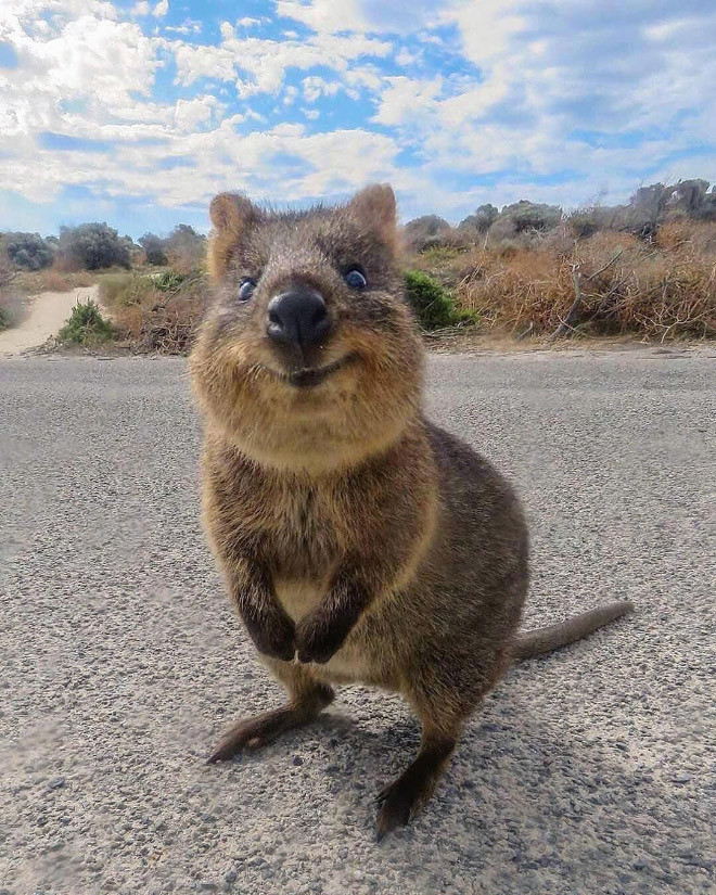 Квокка - самое счастливое животное на Земле