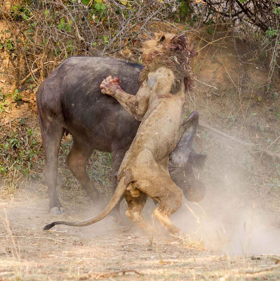 Лев был повержен буйволом в жестокой схватке