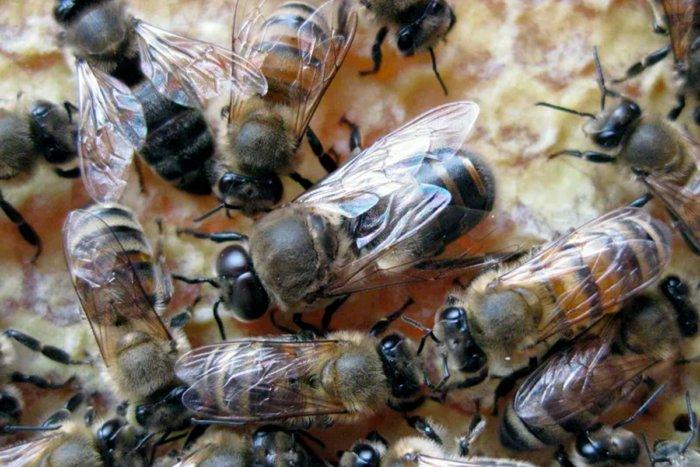 Для чего нужны пчелы-трутни, если они дармоеды?