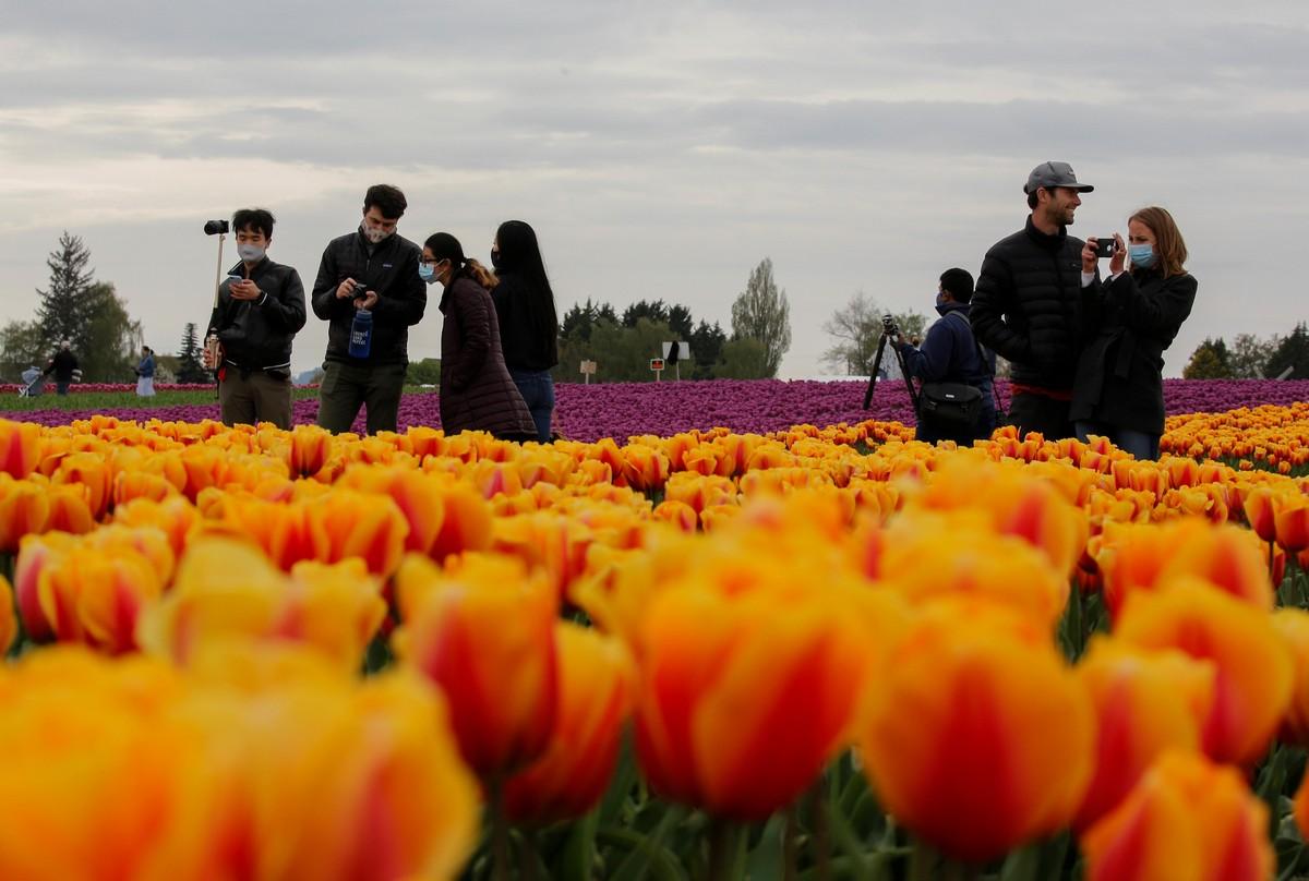 Фестиваль цветущих тюльпанов Skagit Valley Tulip Festival в Вашингтоне
