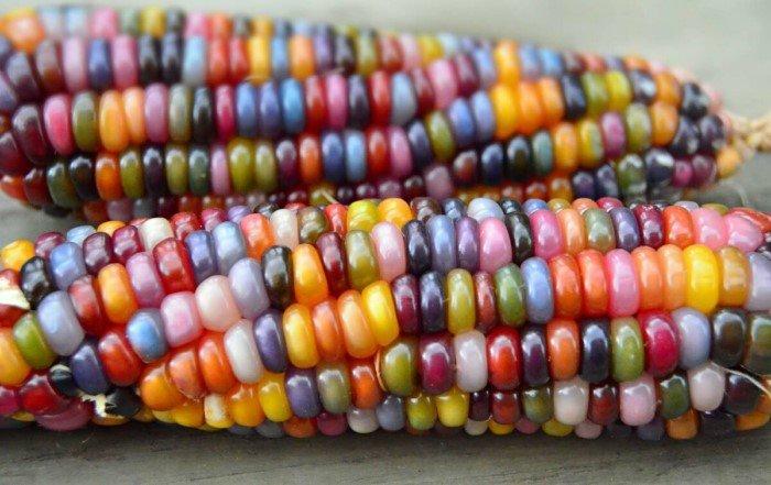 Если дикой кукурузы в природе не было, то как она появилась у человека?