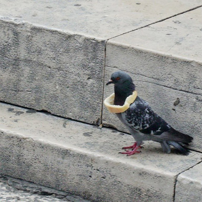 Хлебные ожерелья как символ благосостояния среди голубей