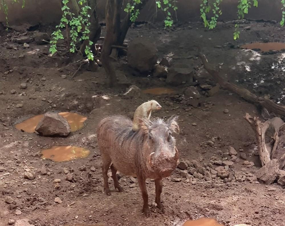 Бородавочник и мангуст подружились в Ботсване