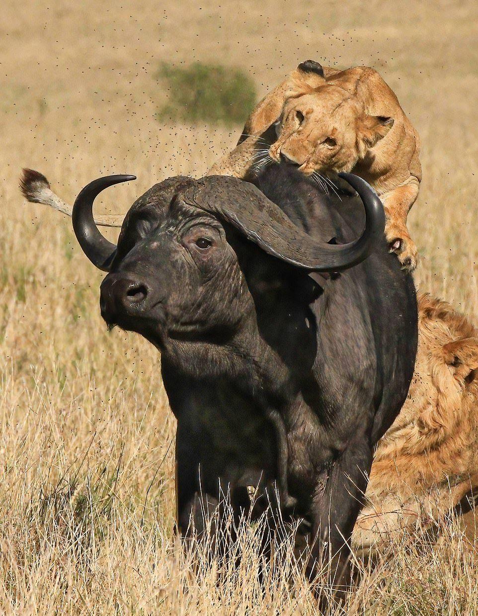 Прайд львов завалил буйвола в Кении