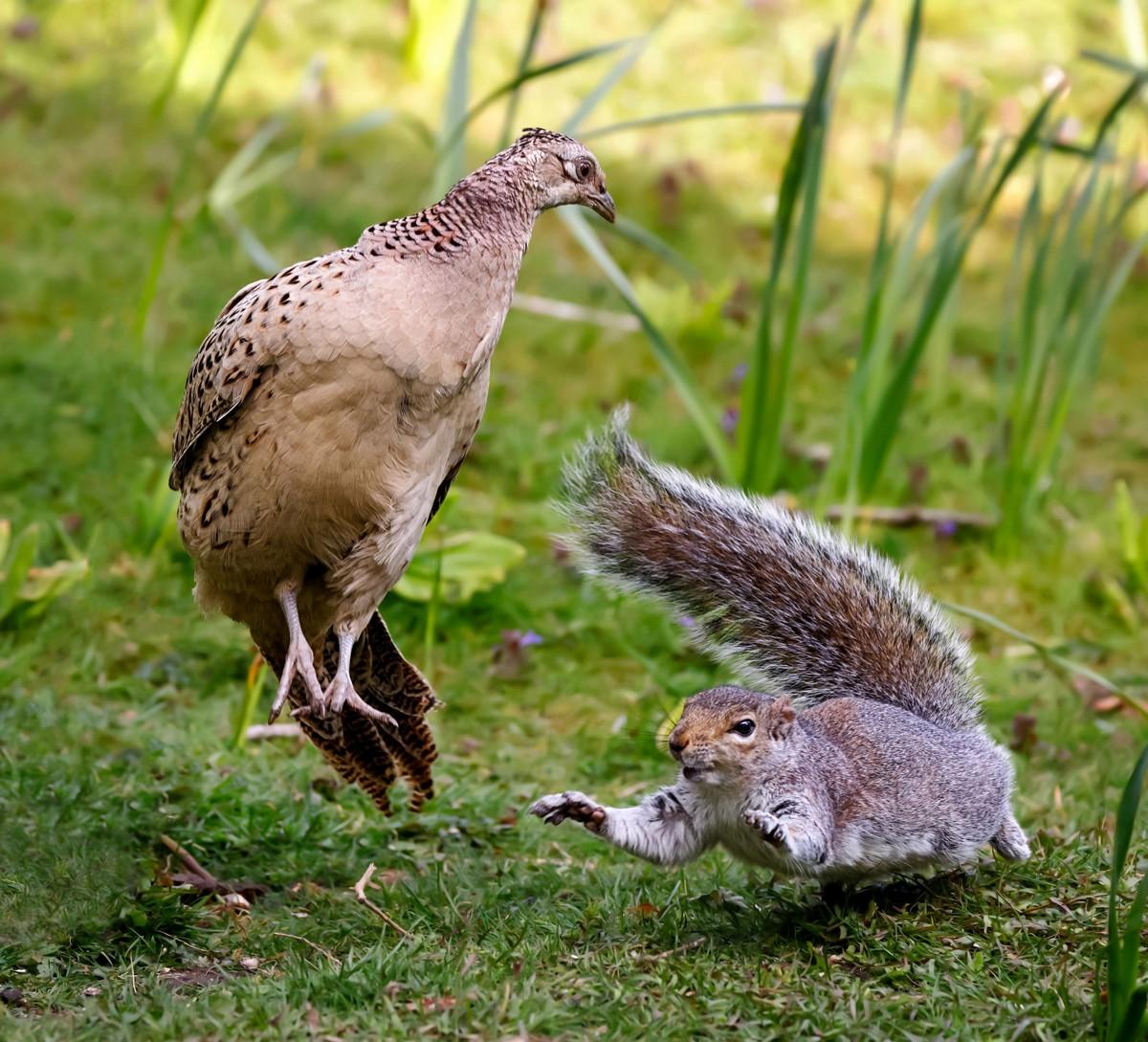 Захватывающие снимки драки белки и фазана