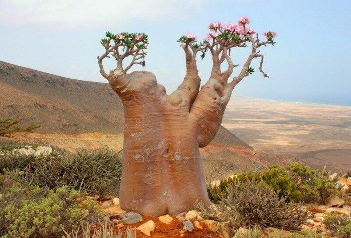 Ядовитая роза пустыни - прекрасная и опасная