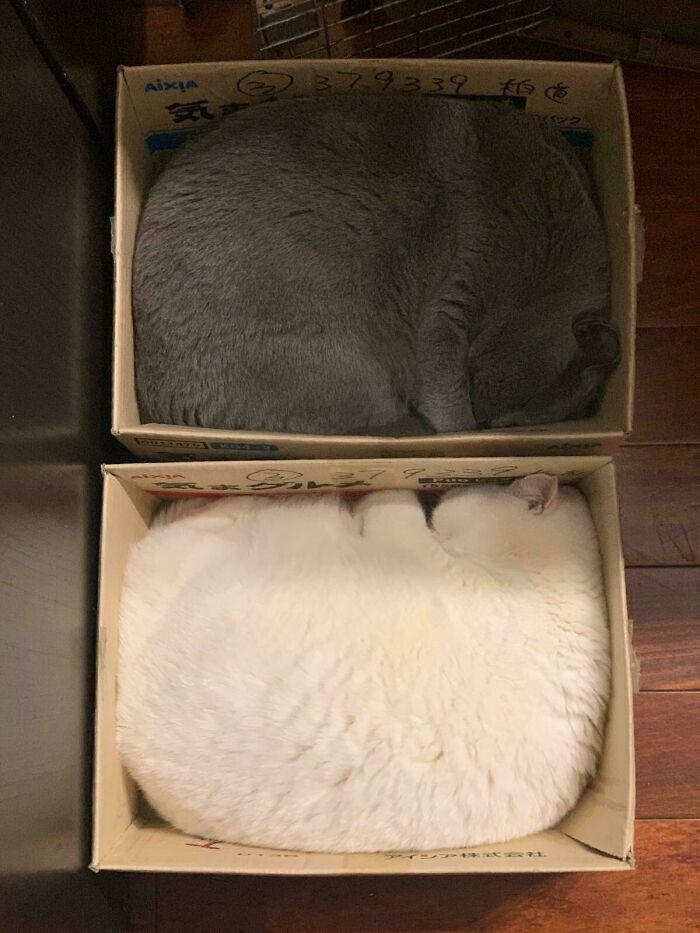 Наглядные причины, почему две кошки в доме лучше, чем одна