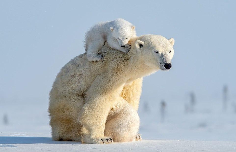 Белые медвежата играют с мамой-медведицей на снимках