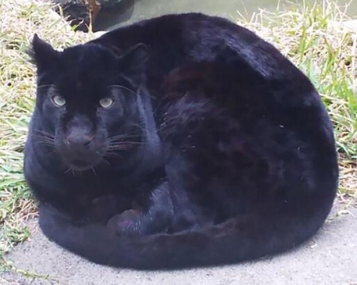 Котики, которые больше похожи на пушистые буханки
