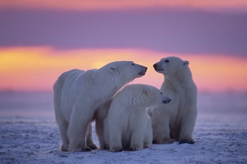 Разные интересные факты о белых медведях