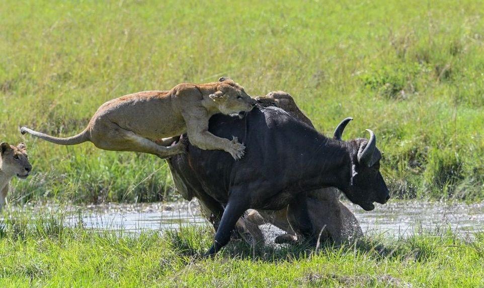 Четыре львицы завалили буйвола на водопое
