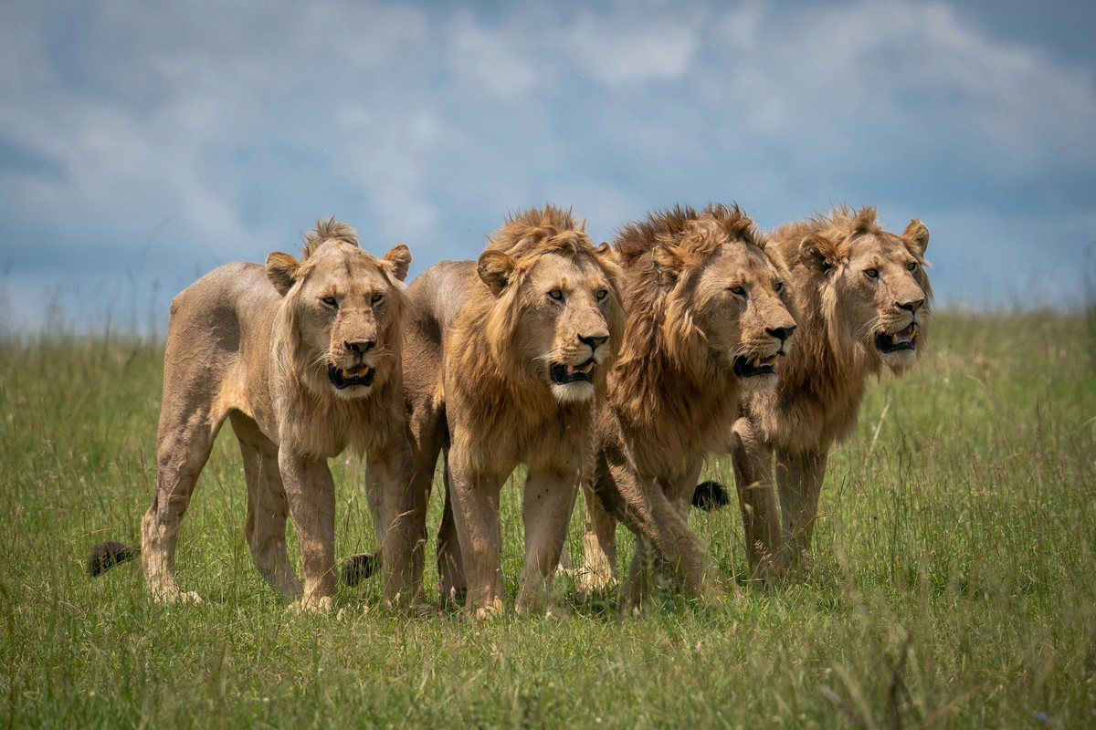 Льву пришлось укрываться от буйволов на дереве