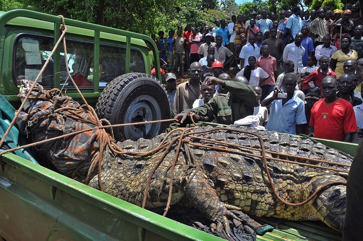 75-летний крокодил Усама, который съел 80 человек