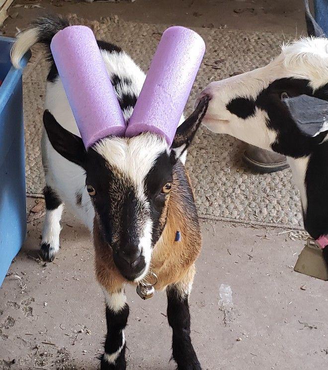 Козам, которые плохо себя ведут, на рога надевают аквапалки