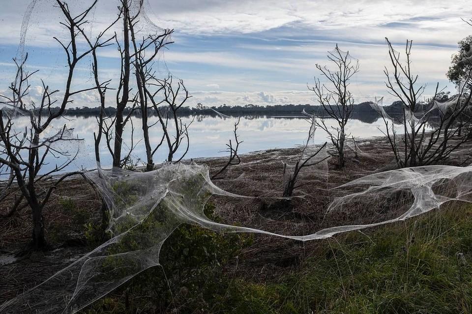 Толстые одеяла паутины в Австралии