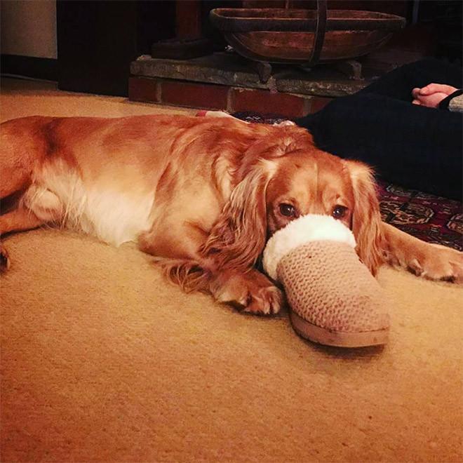 Новая порода собак - уткопёс