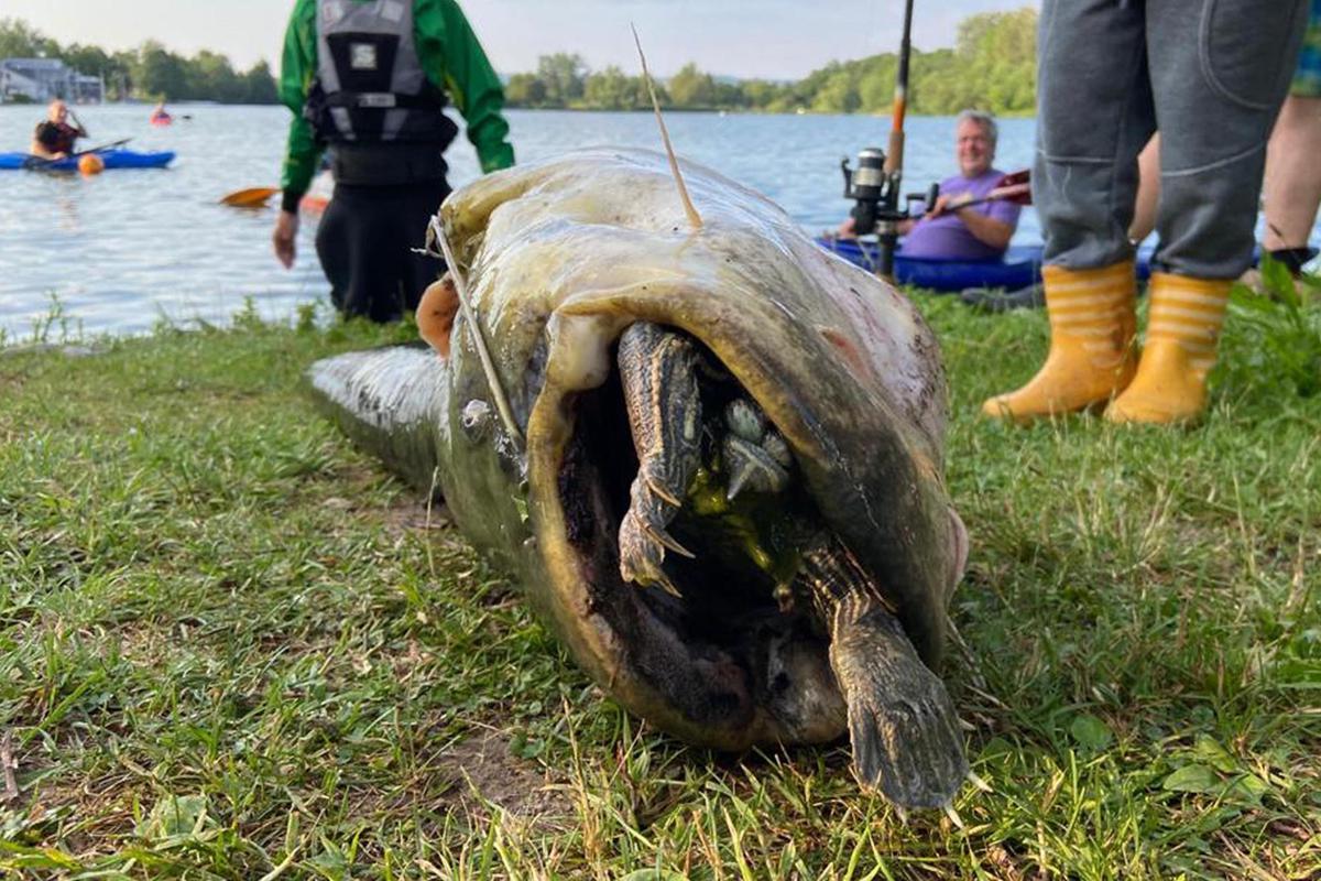 Сом попытался проглотить красноухую черепаху