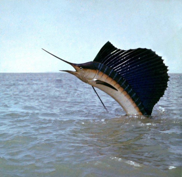 Трехметровый парусник - быстрая и очень красивая рыба