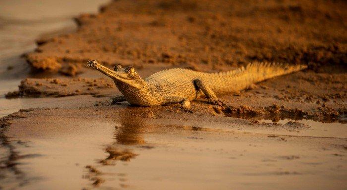 В чём же разница между аллигатором и крокодилом?