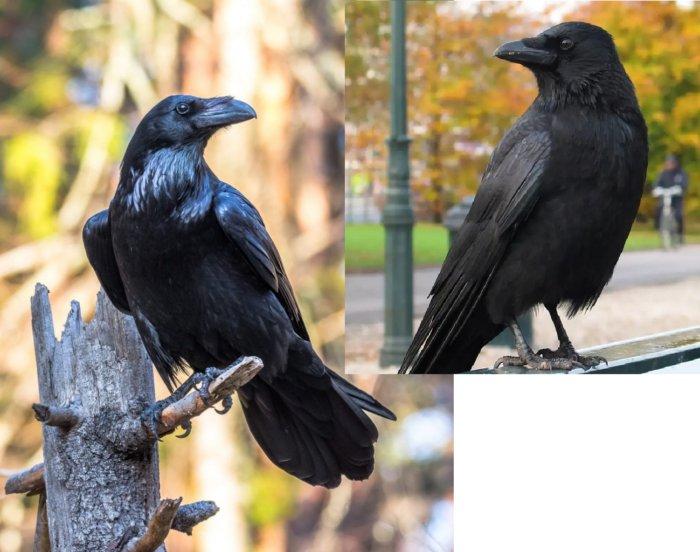 Как научиться различать ворона и ворону