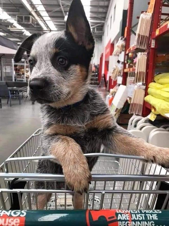 Пёсики в торговых тележках помогают хозяевам делать покупки