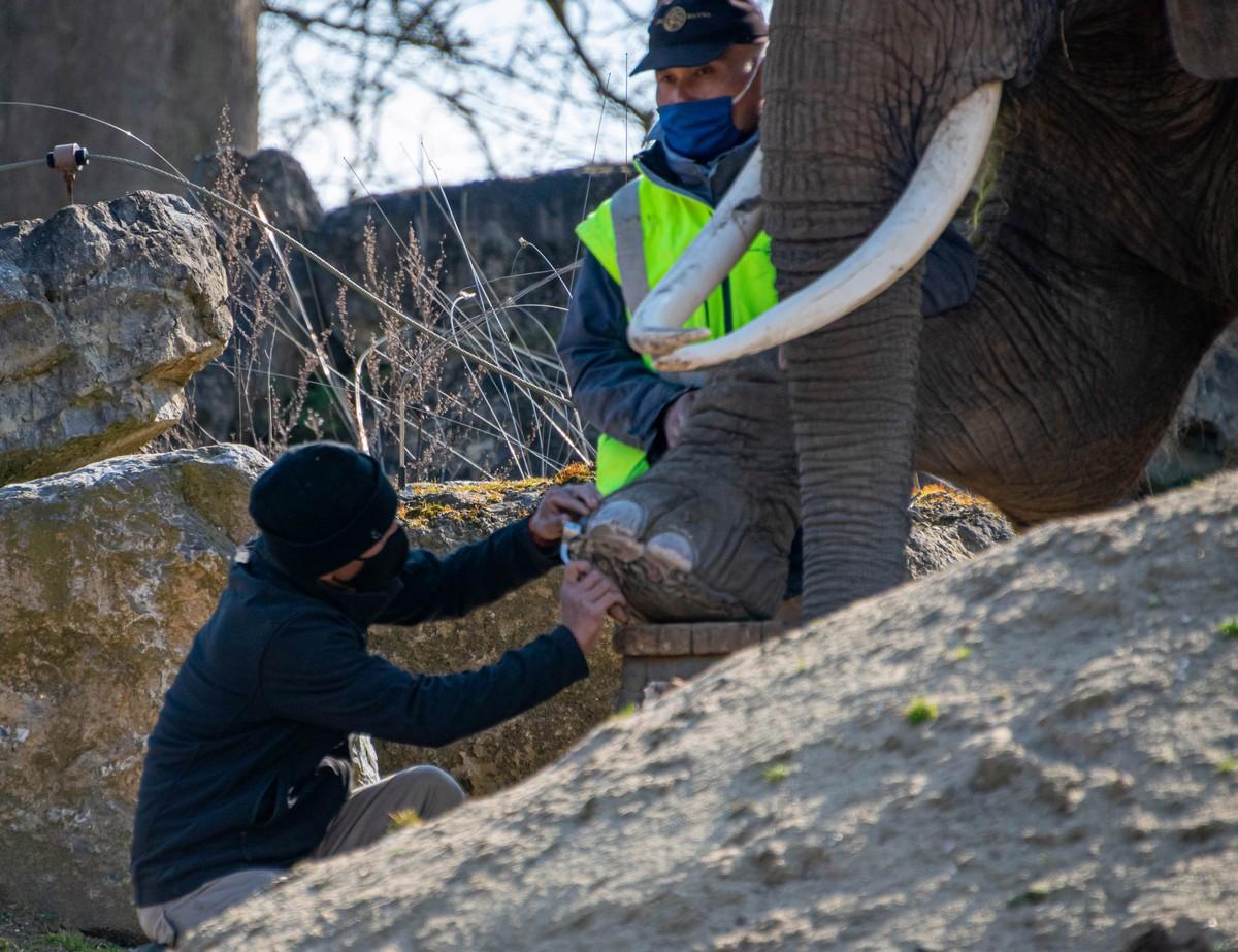 Как слонам делают педикюр на снимках