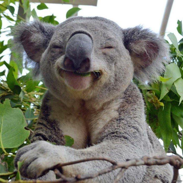 Почему коалы до сих пор не вымерли на полной опасностей планете?