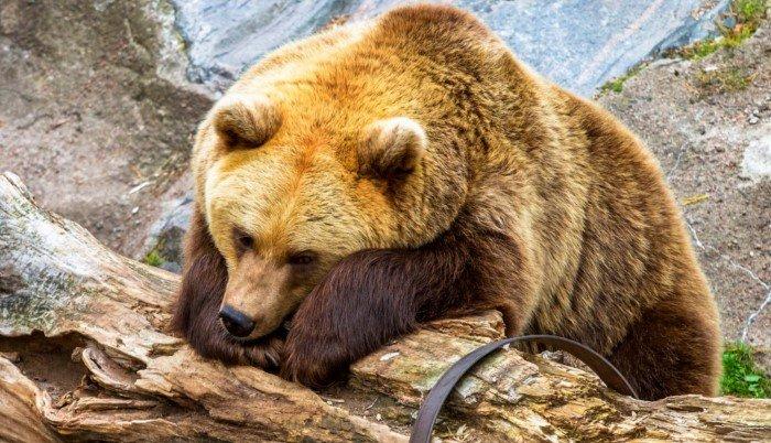 Что происходит с медведем во время длительного сна?