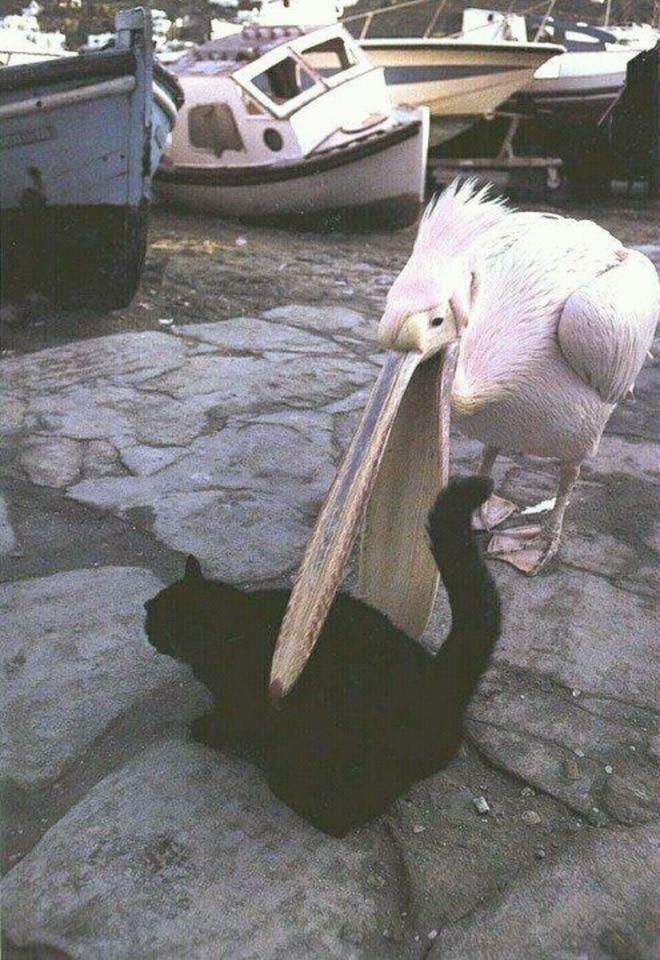 Голодные пеликаны, которые пытались съесть любую возможную еду