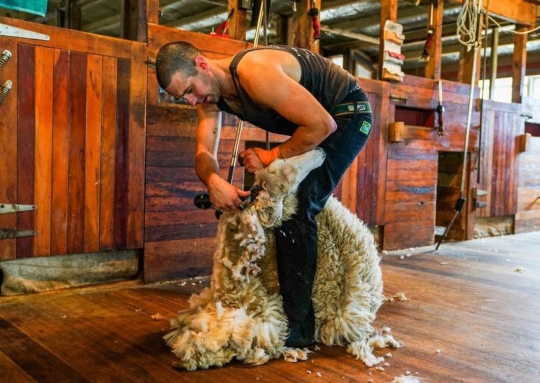 Британец установил мировой рекорд по стрижке овец