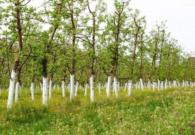 Для чего в СССР белили деревья и бордюры?