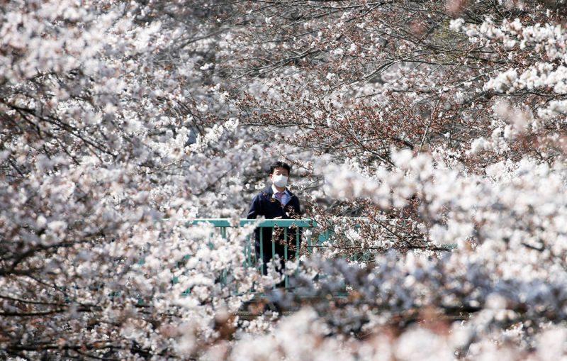 Почему цветущая сакура стала для японцев сакральным деревом