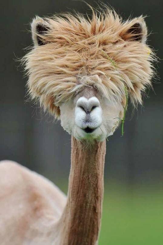 Животные с такими стильными прическами, которые есть не у каждого человека