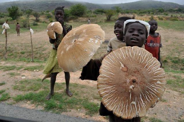 Термиты выращивают в Африке гигантские грибы, которые кормят целые семьи