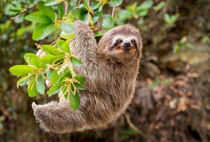 Как медлительный ленивец выживает в дикой природе?